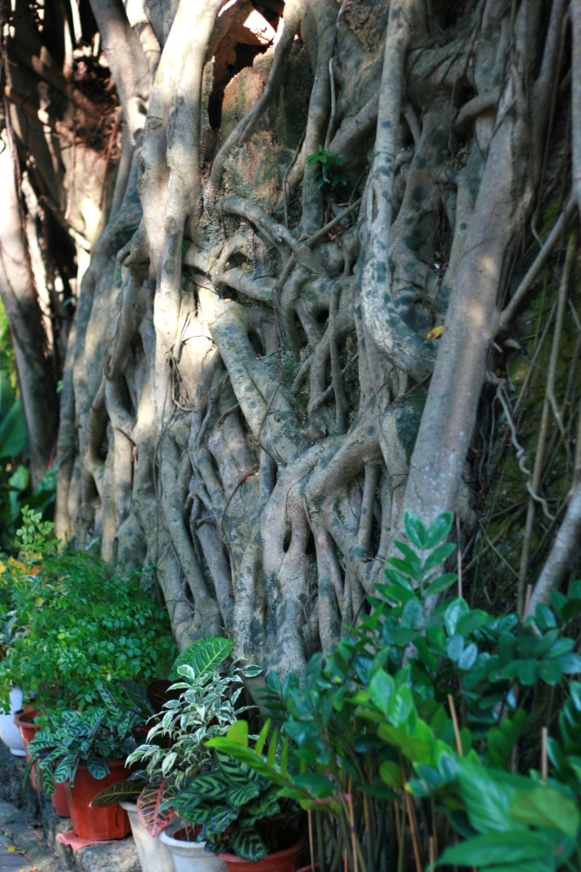 Banyan trees on Stanley Main Street.